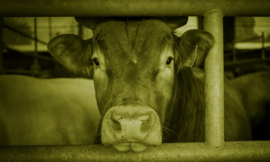 Close up of a cow staring straight ahead through the bars of its enclosure.
