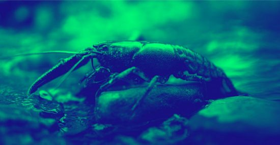 A crawfish rests above the waterline, on top of a rock in a small stream.